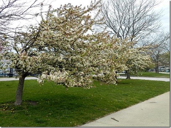 Montrose Harbor cherry blossom