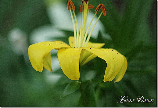 Lily_Yellow_Asiatic