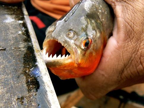 Piranha 001