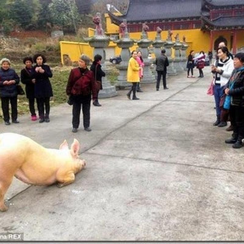 Chú lợn bỏ trốn tới trước cửa chùa, quỳ gối hàng tiếng không chịu đứng lên