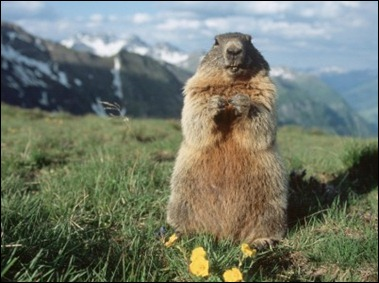 Yellow Bellied North American Marmot