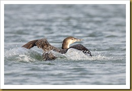 Common Loon -slpash