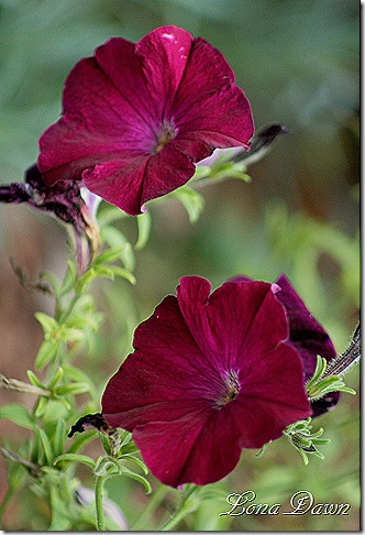 Burgundy_Petunia_Sept29
