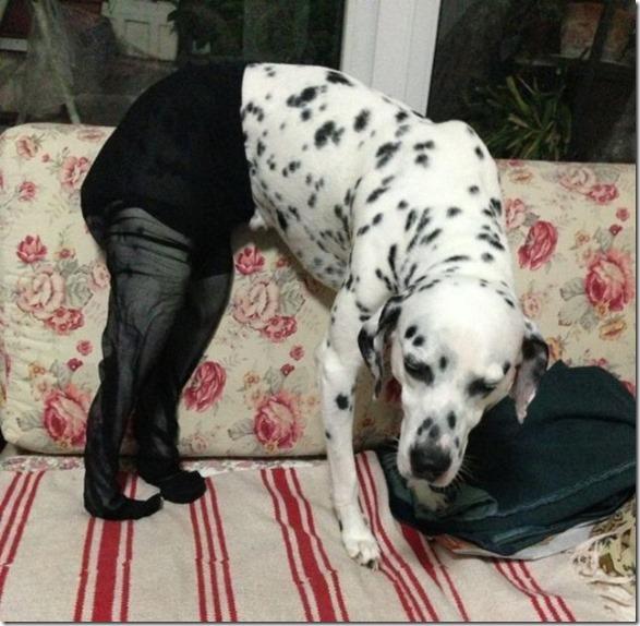 dogs-pantyhose-17
