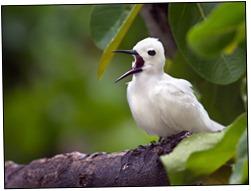 Fairy-Tern-5