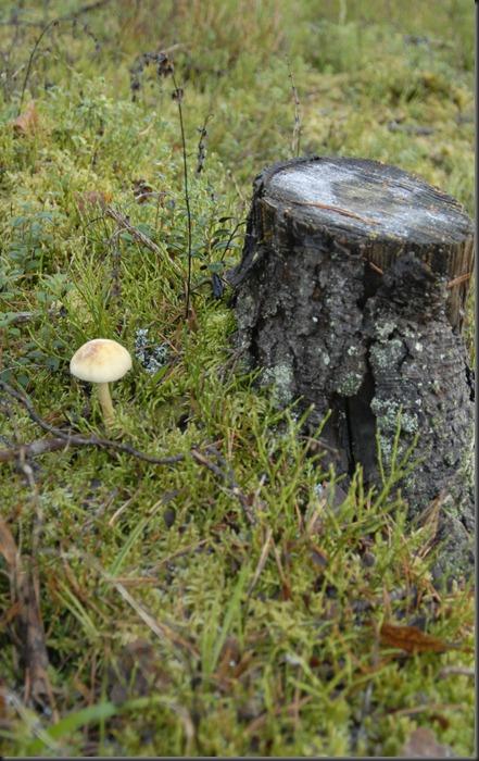 suomalainen syys metsä suppilovahvero 023
