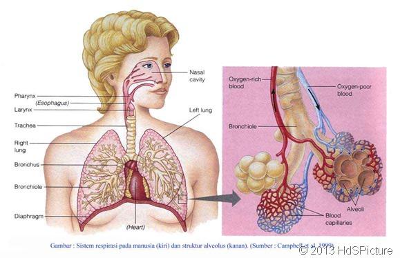paru-paru