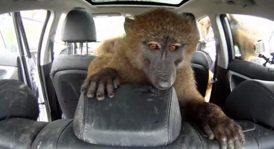 macacos Huyndai 03