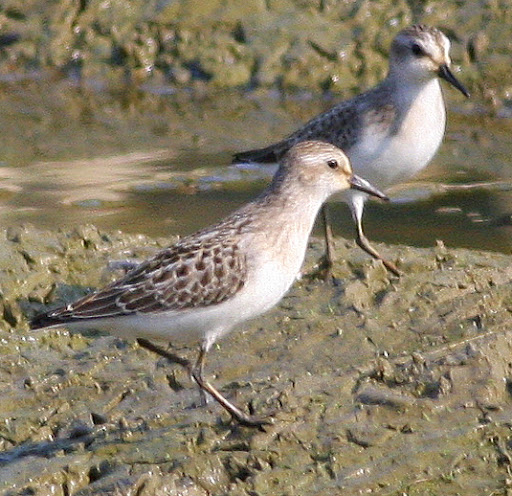 8-16-09, fish hatchery breeding pool, juvenile Sanderlings, 9:37 p.m.