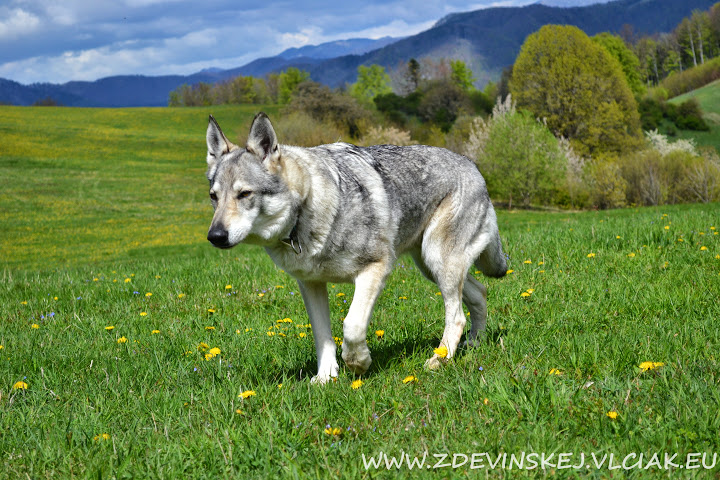 Silver czechoslovakian wolfdog - photo#22