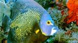 Antilles poisson-ange français