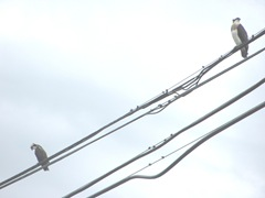 7.31.12 young 2 ospreys on wire9