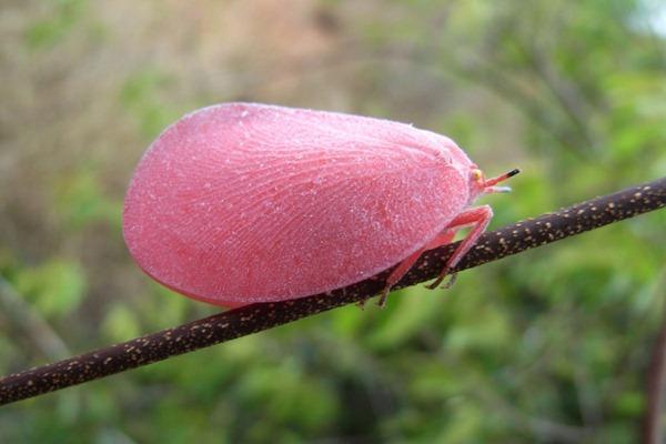 Pink Flatid Leafbugs