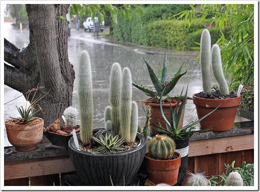 111005_rain_cactus