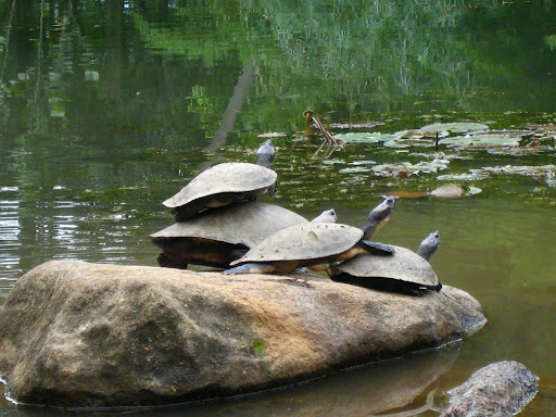 Double Decker turtles fighting for the sunlight.