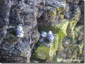 Ninhos de gaivotas nos Cliffs of Moher, Irlanda (3)
