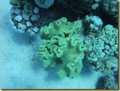 Brocolli Coral