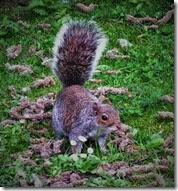 grey squirrel Center Parcs May 2014 (1)