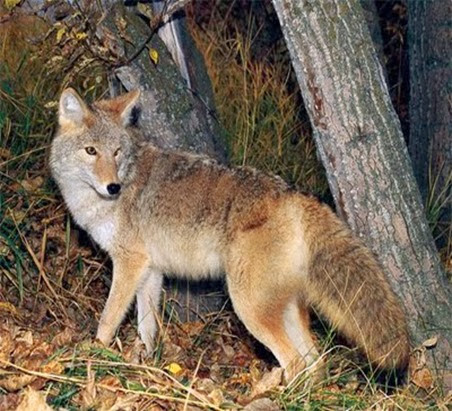 Amazing Pictures of Animals, Photo, Nature, Incredibel, Funny, Zoo, Coyote, Canis latrans, Alex (3)