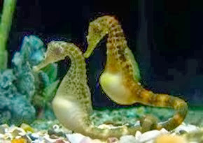 Amazing Pictures of Animals, Photo, Nature, Incredibel, Funny, Zoo, Big-belly seahorse, Hippocampus, Alex (8)