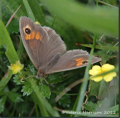 Meadow-Brown