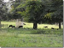 levens hall park deer 4
