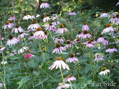 Coneflower Planting
