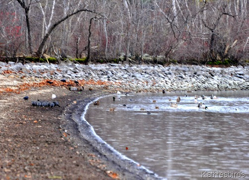 16. coots and ducks-kab