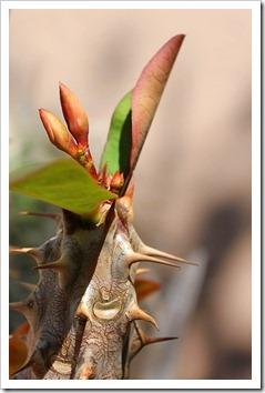 120308_Euphorbia-millii_06
