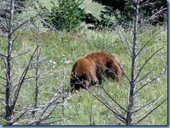 1323 Alberta Red Rock Parkway - Waterton Lakes National Park - a grizzly bear