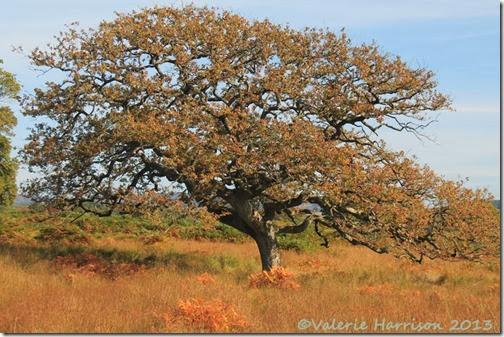 12-oak-tree