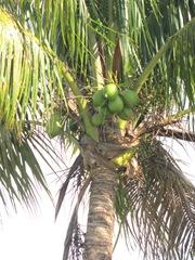 Florida WPB coconut tree