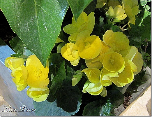 Begonia_Yellow
