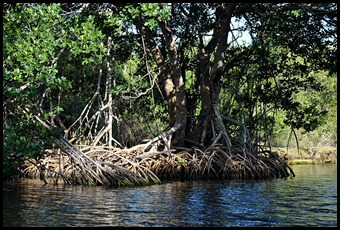 05 - Red Mangrove Roots