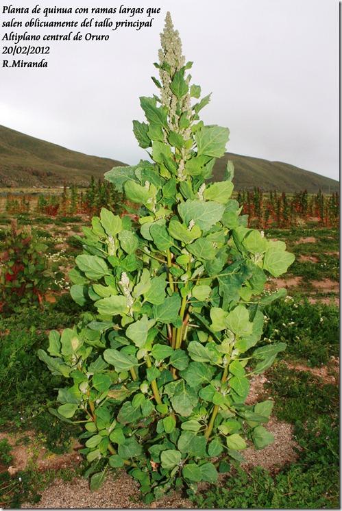 Planta_ramificada_de_Chenopodium_quinoa-Ruben_Miranda