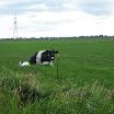 Koeien onderweg 11.JPG