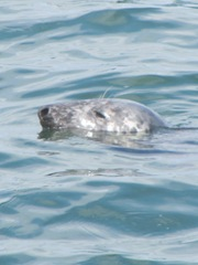 seal 4 swimming closeup head Chatham fish pier 6.17.12