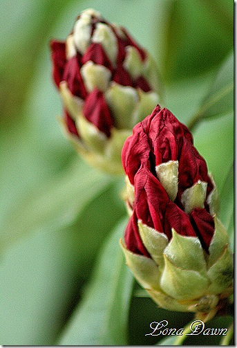 Rhododendron_Buds