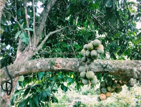 gambar buah dokong
