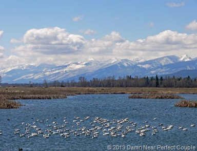 Snow Geese and Coots1