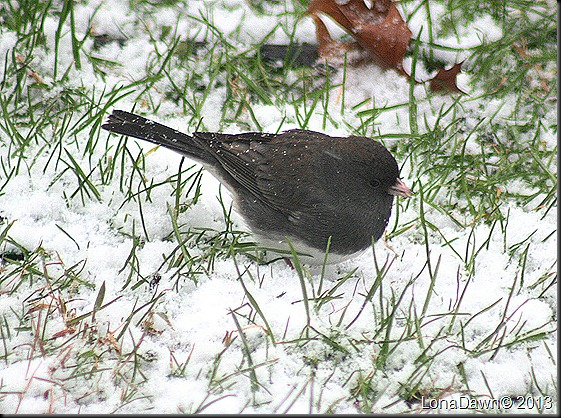 Junco_Jan2012
