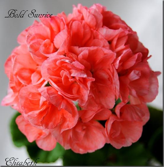 Pelargonium juni-11 230