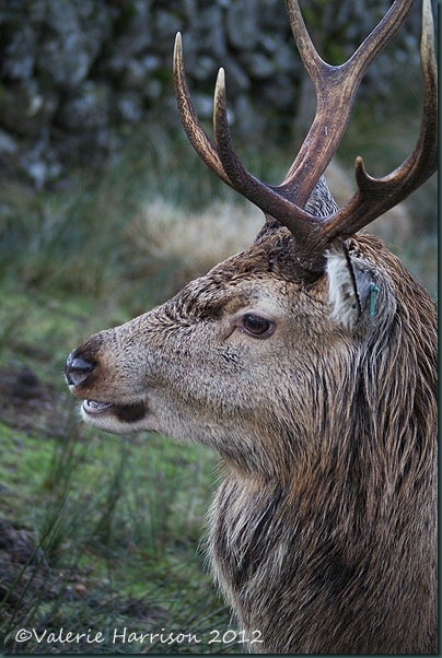 17-red-deer