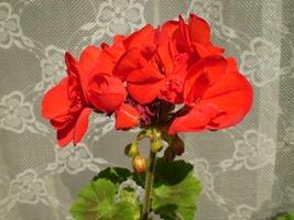 piros_muskatli_232697_44926_n