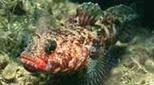 Méditerranée grotte sous-marine gobie à bouche rouge