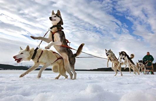 aviemore_husky_sled_dog_rally01