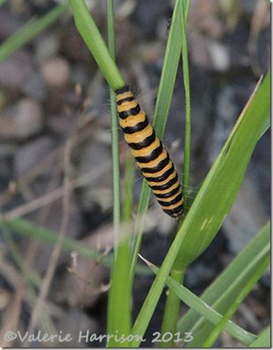 10-cinnabar-caterpillar