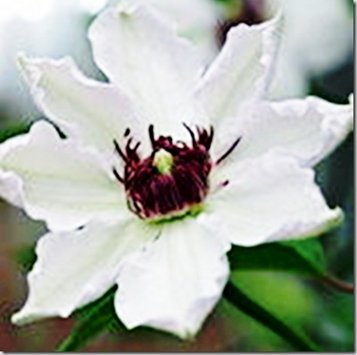 Clematis Madame ;Le Coultre2