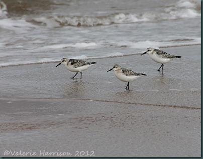 24-sanderlings