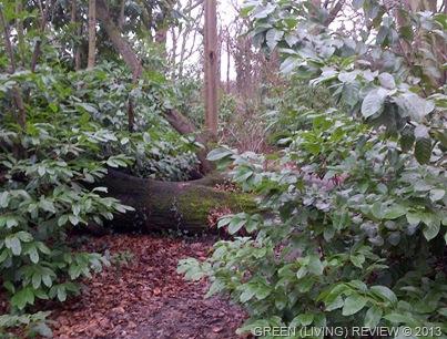 Fallen Lime Tree2